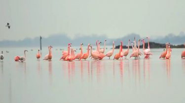 flamingo's in nederland
