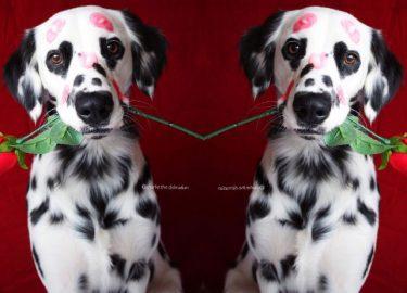charlie dalmatiër met hartjesogen