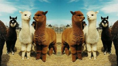 open dag van alpaca boerderij