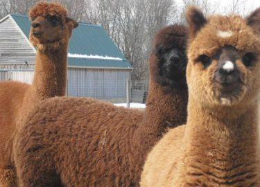 open dag van de alpaca boerderij ijsselmuiden overijssel