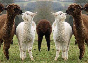 Winactie Alpacashow Assen