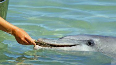 walfijn