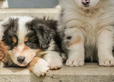 Beroemd Kleine Honden Ras Chz65 Agneswamu