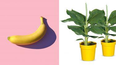 Bananenplant lidl