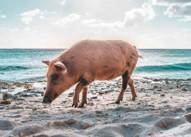 varken op strand, zwemmen varkens