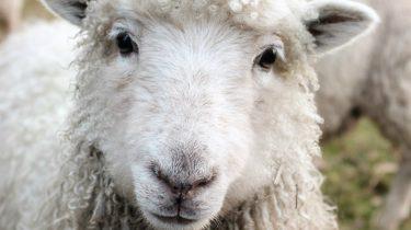 schaap boer zoekt vrouw 2018