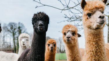 wandelen alpaca's