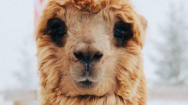 Alpaca's Lama