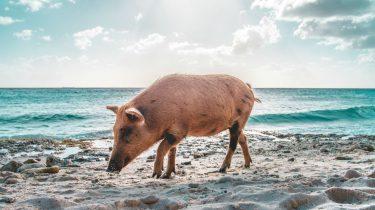 varkens op bahama's