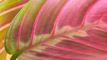 roze kamerplant trend