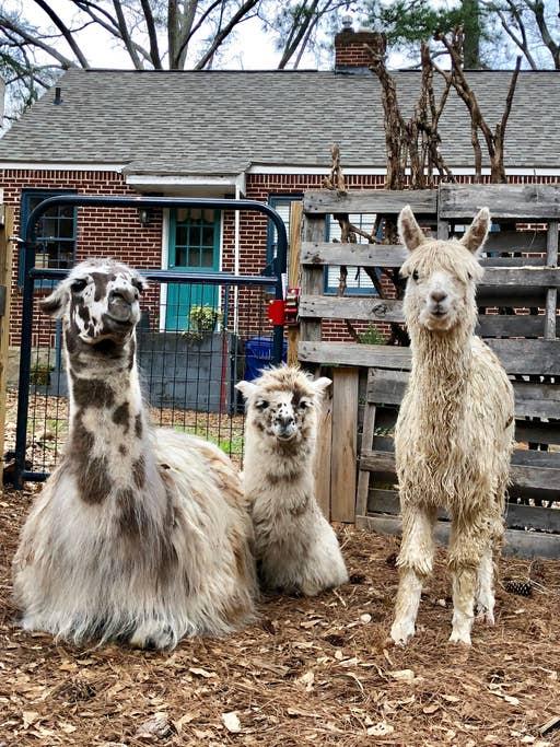 Boomhut airbnb alpaca's 1